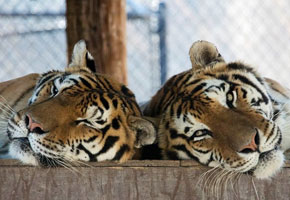 Aspen and Willow at Shambala Preserve   Photo courtesy of The Roar Foundation, Facebook